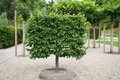 Espalier lime tree Royalty Free Stock Images