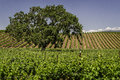 Essence of california oaks and vineyards santa ynez valley spring Stock Photo