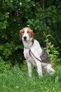Estonian hound on the leash Royalty Free Stock Photo