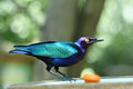 Estornino esmeralda - Purple Glossy Starling Royalty Free Stock Photo