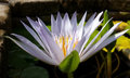 Ethereal Blue Dauben water lily bloom in profile in early morning sun Royalty Free Stock Photo