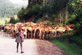 Ethiopian camels on the road near dessie in ethiopia Stock Image