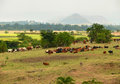 Ethiopian Cows On The Pasture....