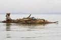 Ethiopian native transports logs on Lake Tana. Royalty Free Stock Photo
