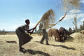 Ethiopian Old woman threshing grain harvest Royalty Free Stock Photo