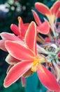 Etlingera eliato Royalty Free Stock Photos