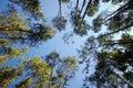 Eucalyptus Royalty Free Stock Images