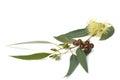 Eucalyptus branch Royalty Free Stock Photo