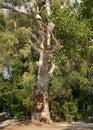 Eucalyptus eucalyptus viminalis plant medical summer Stock Photography