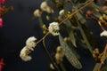 Eucalyptus flower Royalty Free Stock Photo