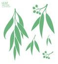 Eucalyptus. Isolated leaves on white background Royalty Free Stock Photo