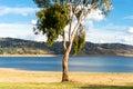 Eucalyptus on a lake Royalty Free Stock Photo
