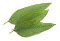 Eucalyptus leaves isolated Royalty Free Stock Photo