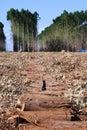 Eucalyptus plantations Royalty Free Stock Photo