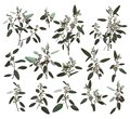 Eucalyptus silver, zerin, cineraria, greenery, gum tree foliage natural leaves and branches designer art tropical elements set