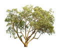 Eucalyptus tree Royalty Free Stock Photo