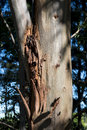 Eucalyptus tree detail trunk showing cracks in the bark with background blurred Royalty Free Stock Photography