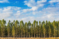 Eucalyptus tree forest in thailand plants for paper industry Stock Image
