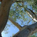 Detail of an eucalyptus tree in the outback Royalty Free Stock Photo