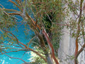 Eucalyptus tree thrives and hangs from the wall of the corinth canal Stock Image