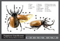 Eupatorus gracilicornis beetle diagram Royalty Free Stock Photo