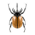 Eupatorus gracilicornis beetle Royalty Free Stock Photo