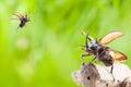 Eupatorus gracilicornis or Hercules beetles Royalty Free Stock Photo