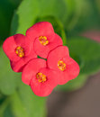 Euphorbia milii flowers Royalty Free Stock Photos