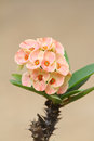 Euphorbia milii flowers. Stock Photos