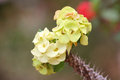 Euphorbia milii flowers. Stock Photography