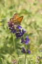 Euphydryas maturna butterfly sitting feeding from violet beautiful plant Stock Image