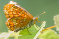 Euphydryas maturna portrait of a scarce fritillary freshly emerged from the pupae Stock Photos
