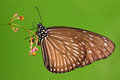 Euploea mulciber, butterfly on flower Stock Photo