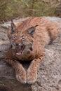 Eurasian свой lynx показывая зубы Стоковое Фото