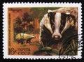 Eurasian badger in the Berezinsky Nature Reserve, circa 1975 Royalty Free Stock Photo