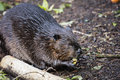 Eurasian Beaver Royalty Free Stock Photo