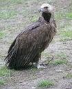 Eurasian Black Vulture 1 Stock Images