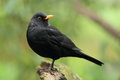 Eurasian blackbird Royalty Free Stock Photo