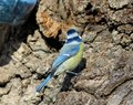 The Eurasian blue tit Cyanistes caeruleus or Parus caeruleus seen from back