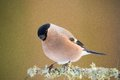 Eurasian bullfinch looking for food Royalty Free Stock Photo