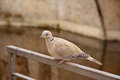 Eurasian collared dove, latin name Streptopelia decaocto resting Royalty Free Stock Photo