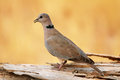 Eurasian collared dove in moremi game reserve botswana Stock Images