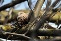 Eurasian collared dove_2