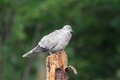 Eurasian collared dove standing on stump Royalty Free Stock Photo