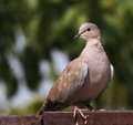 Eurasian collared dove streptopelia decaocto Stock Image