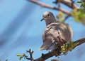 Eurasian collared dove streptopelia decaocto on branch Royalty Free Stock Photo