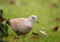 Eurasian collared dove (Streptopelia decaocto) Royalty Free Stock Photo