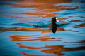 Eurasian Coot Royalty Free Stock Photo