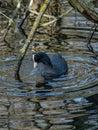 Eurasian coot, Fulica atra. Blackford Pond, Edinburgh Royalty Free Stock Photo