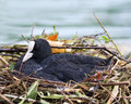 Eurasian coot fulica atra broods in the nest Stock Photography